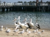 pelicans_img_0337