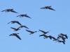 geese_n7k_2636