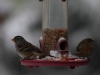 whitecrownedsparrow_housefinch_snow_img_5837