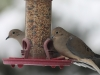 mourningdoves_img_6011