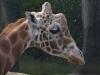 giraffe_n7k_1420