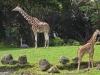 giraffes_n7k_1438